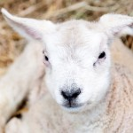 Lambing Live Slider